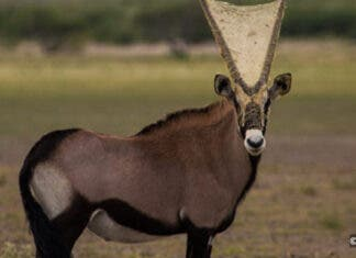 Gemsbok with spiderweb in Botswana. Photos: Jess Isden