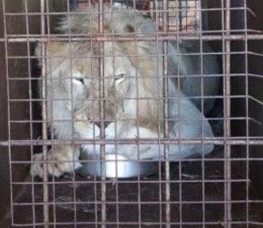 lion-bone-suspect-arrested