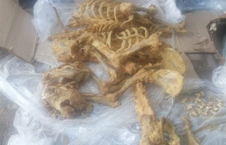 lion bones South Africa