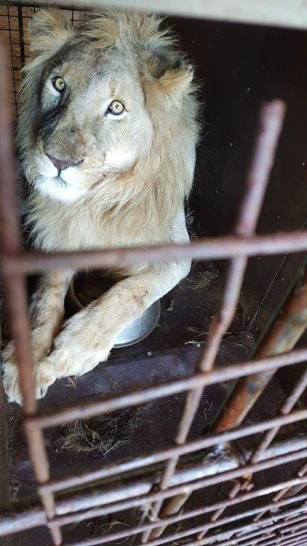 lion bones crate