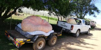 New South African Record for Heaviest Pumpkin