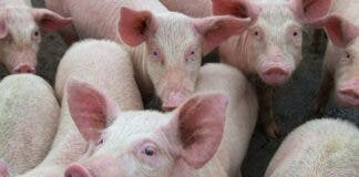 swine fever south africa