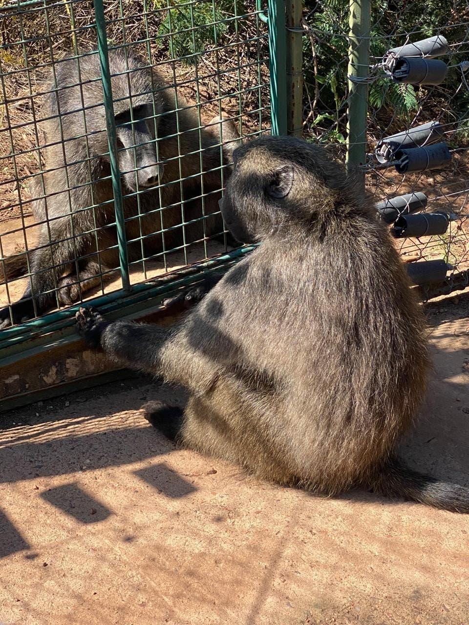 Jeffrey baboon Joburg safe