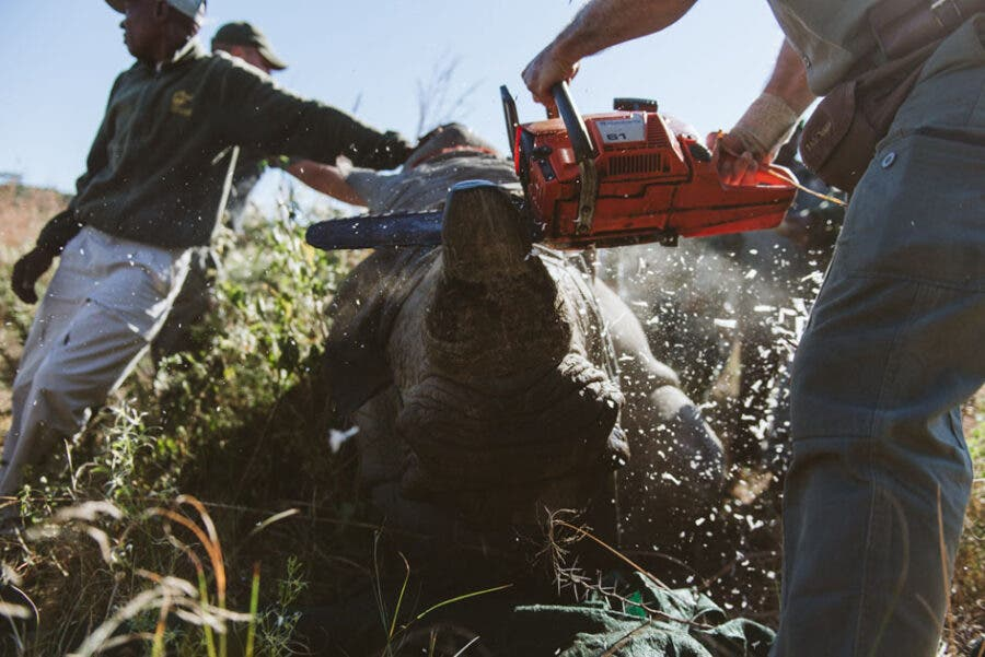 KZN Reserve Undertakes Mass Rhino Dehorning to Save Species from Poaching.