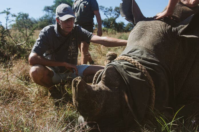 KZN Reserve Undertakes Mass Rhino Dehorning to Save Species from Poaching