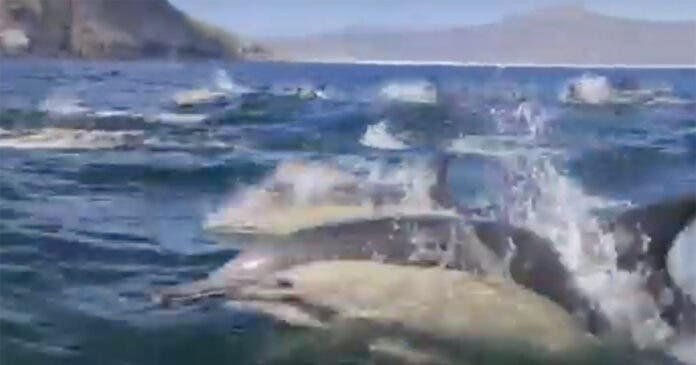 Dolphin Super Pod Splashes Across Hout Bay, South Africa