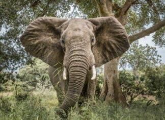 elephants kill poacher Kruger National Park South Africa