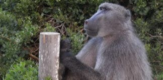 Jeffrey Joburg celebrity baboon