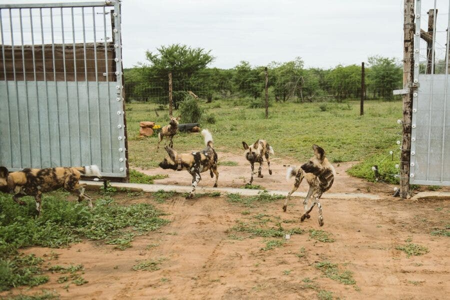Ezemvelo KZN Wildlife release new pack of Endangered African Painted Dogs