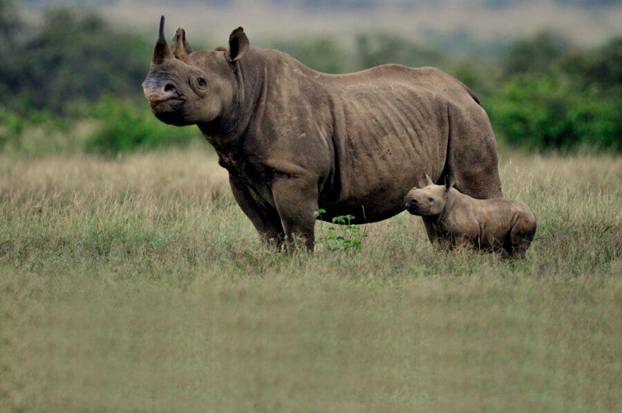 Black Rhino with her calf at the Somkhanda Community Game Reserve. Photo: Dave Gilroy.