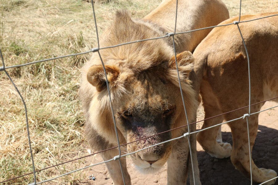 captive lion industry South Africa