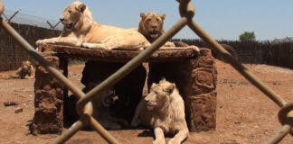 Minister's first steps to ending captive lion breeding industry, South Africa