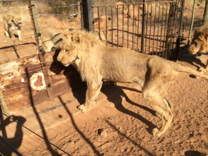 emaciated lion South Africa