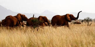 Elephants are seen at the Tsavo West national park in Kenya, February 4, 2014. REUTERS/Thomas Mukoya/File Photo
