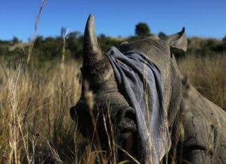 Rhino poachers return South Africa after lockdown