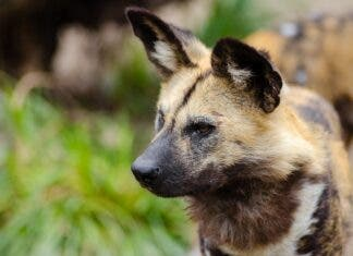 African Wild Dog, the endangered animal is on the increase in the Kruger National Park