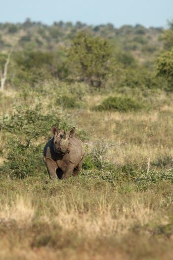 Black rhino attack Zululand south africa