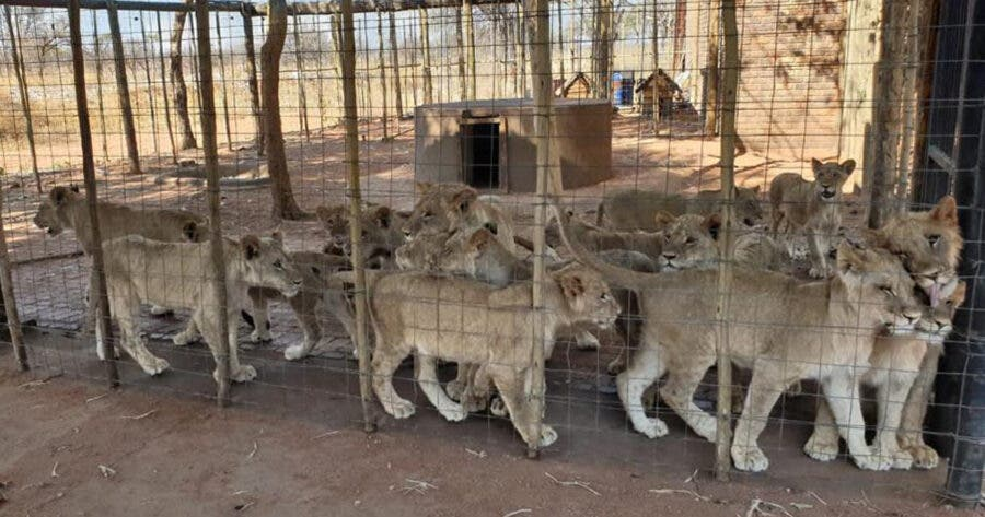 Captive lion industry in South Africa set to end.