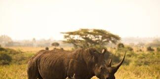 Dead Rhino Dehorning in Kruger