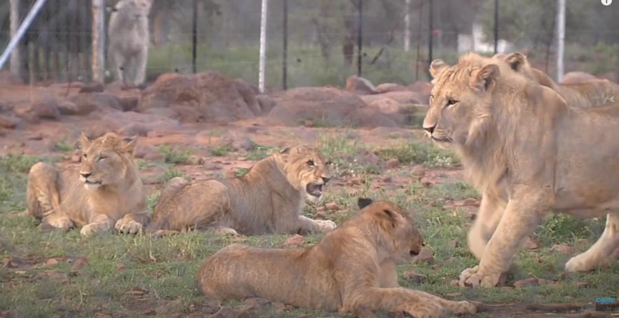 lions carte blanche