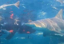 shark cage diving South Africa