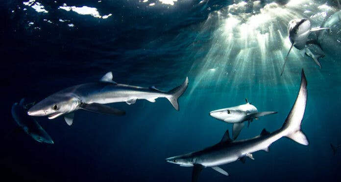 Blue sharks, which are prized for their fins, swimming off Cape Point in South Africa. Morne Hardenberg