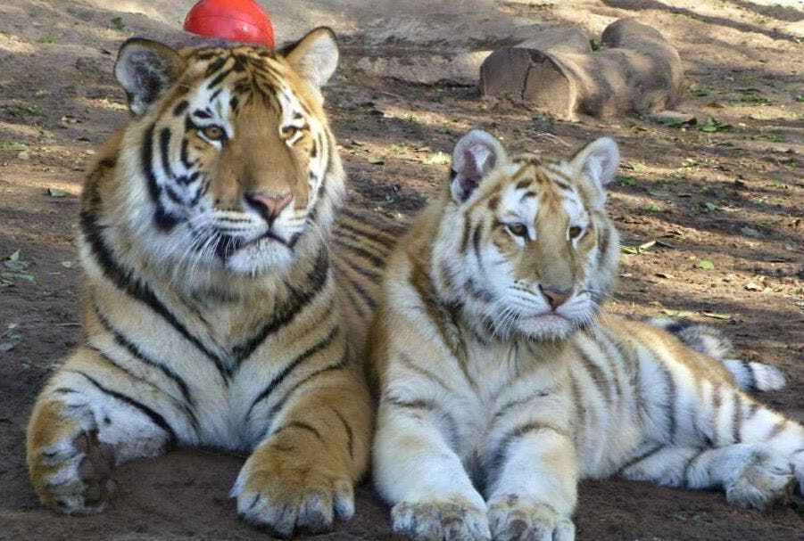 tiger mauls keeper to death in south africa