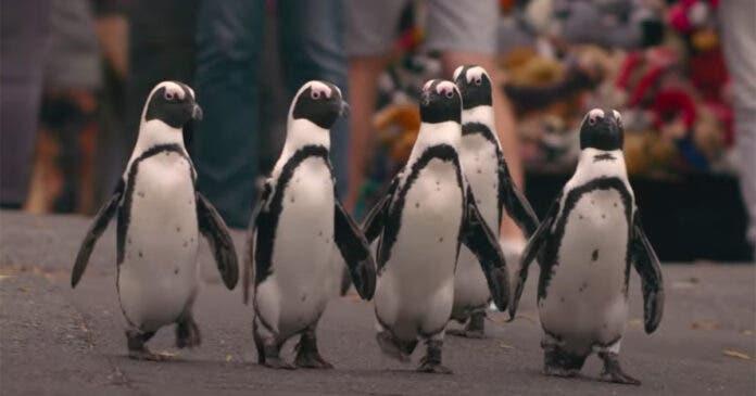 Netflix 'Penguin Town' Simons Town South Africa