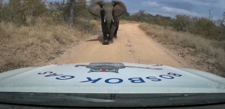elephant charges bakkie