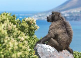 Baboons Cape Town Western Cape