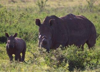 radioactive rhino horn deter poachers