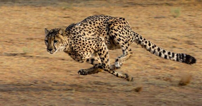 cheetah-attacks-volunteer-South-Africa
