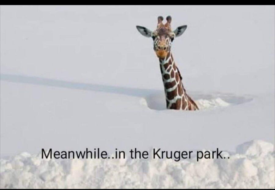 giraffe snow kruger park joke