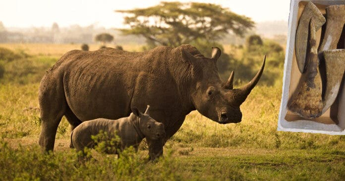 Rhino Poachers Get 105 Years Sentence in Prison