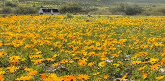 Wildflowers are already in bloom in South Africa. Photos: Enjo Nature Farm