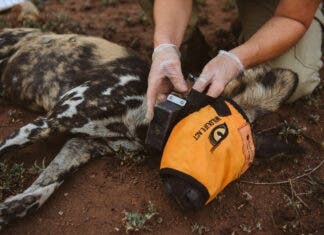 African wild dog relocation South Africa Malawi