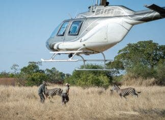 Translocations require carefully coordinated efforts, including expert flying skills.