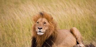 lion killed Zimbabwe Mopane