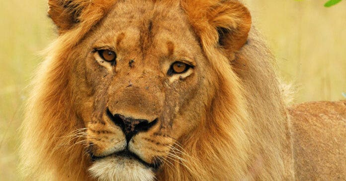 Well-Known Lion Mopane Killed by Hunters in Zimbabwe, Leaving Vulnerable Pride