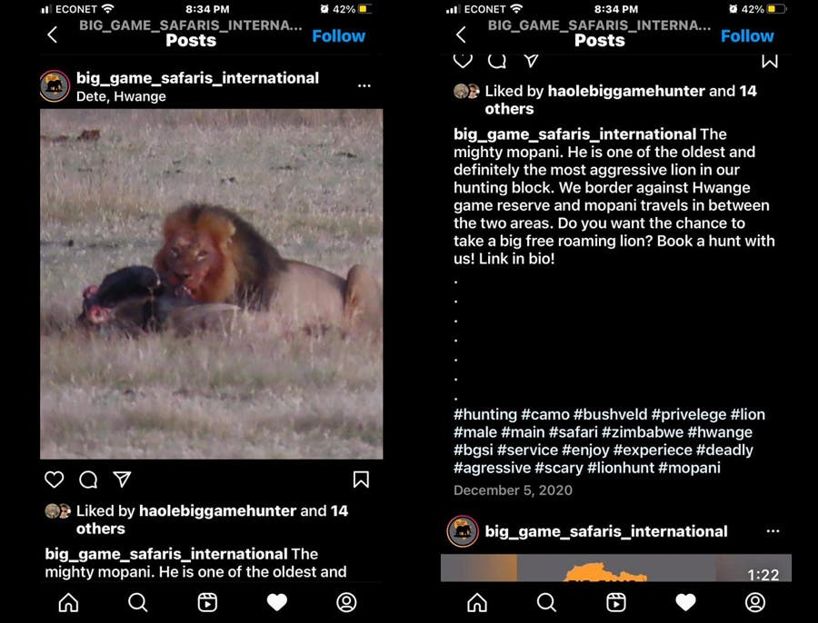 Mopani-lion-hunters-safari-hunt-advert