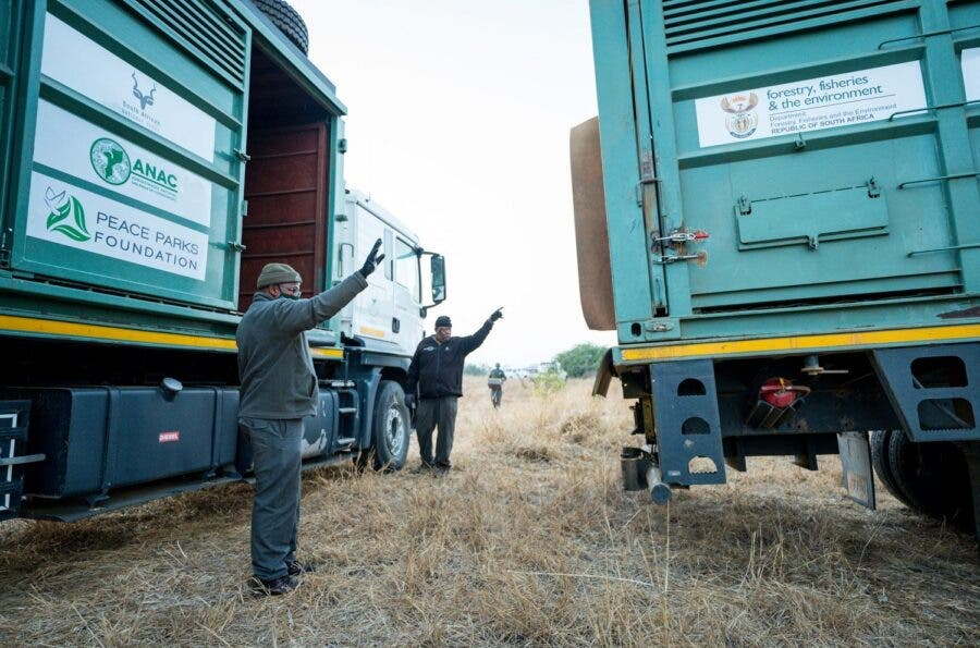 Animals are safely transported in trucks specially adapted for the task, from South Africa to Mozambique