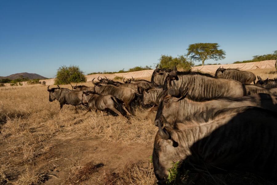 Wildebeest translocation KNP