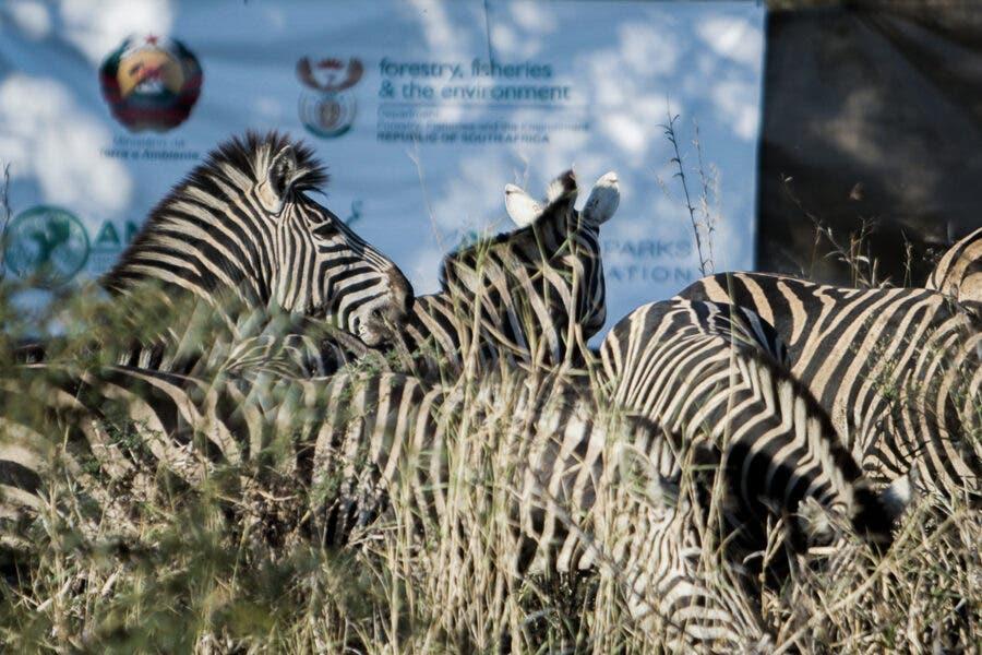 Zebra South Africa to Mozambique