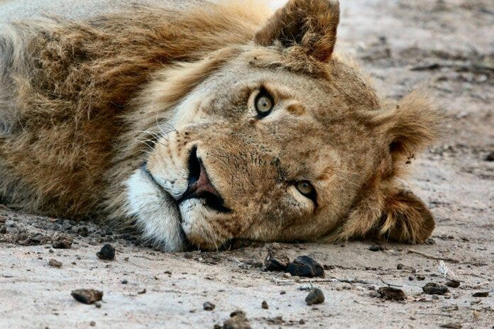 NSPCA Makes Shocking Discoveries at Yet Another Lion Farm in South Africa