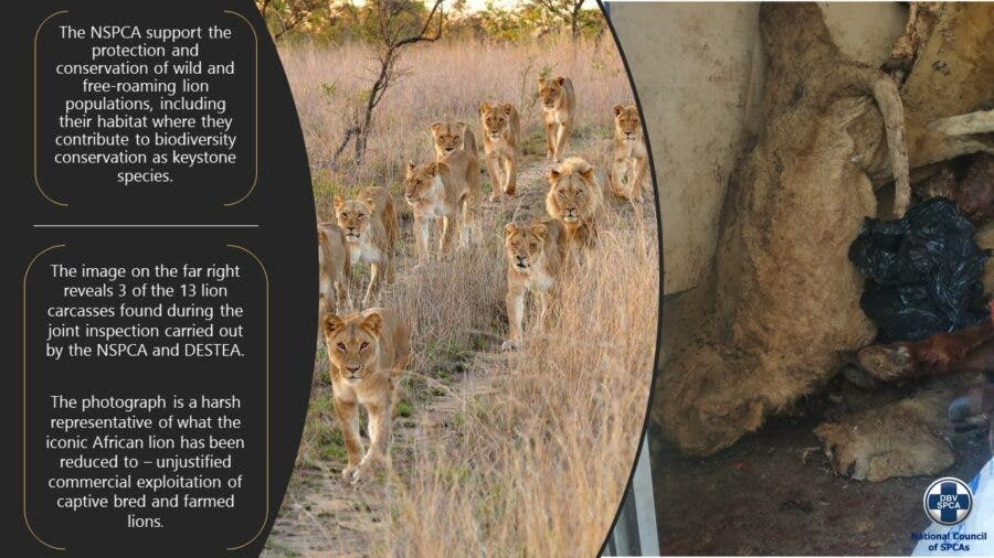 free state lion farm cruelty NSPCA findings