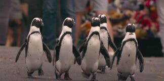 African Penguins Tragically Found Dead in Simonstown, South Africa