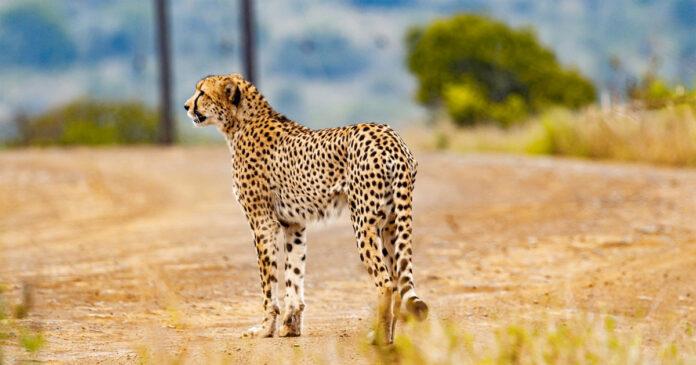 Motorist Runs over Cheetah in Kruger National Park