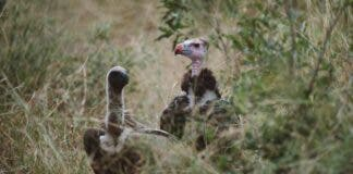 decline in vulture numbers