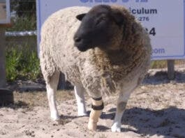 Meet Dolly, the sheep with a prosthetic leg. Image: youtube groundup