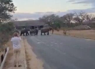 Tourists Run from Elephants at Kruger National Park entrance